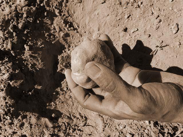 Le champignon – La truffe du désert