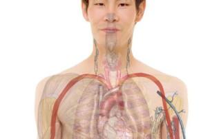 vérité scientifique-articulation du cors humain